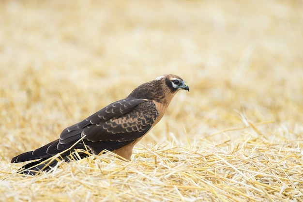 Circus pygargus on the wheat field