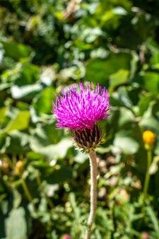 Cirsium 꽃 가까이보기 vanoise 국립 공원, 프랑스