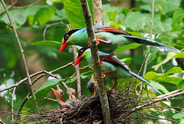 一般的な緑のカササギcissa chinensisタイの美しい鳥巣の中の赤ちゃんの鳥