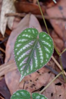 Обесцвечивание циссуса blume - красочный крупный план листьев в ботаническом саду