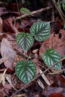 Cissus変色ブルームは植物園のカラフルな葉の背景のクローズアップです