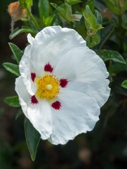Ладанник (lucitanica decumbens) цветет в английском саду