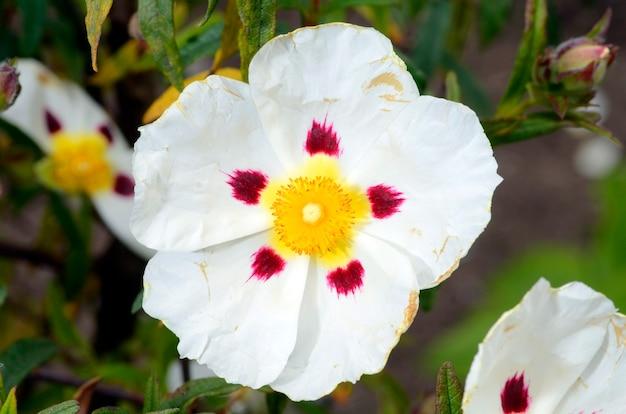 Cistus x dansereau цветок