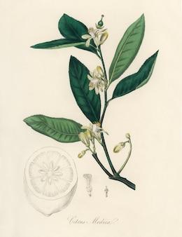 Citron (citrus medica) иллюстрация из медицинской ботаники (1836)