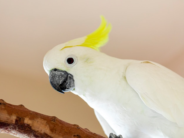 The citron-crested cockatoo (cacatua sulphurea citrinocristata) is a medium-sized cockatoo with an orange crest, dark grey beak, pale orange ear patches, and strong feet and claws.