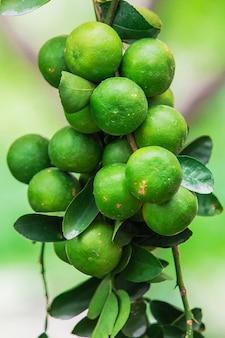 コモンライム(citrus aurantifolia(christm。)swingle)