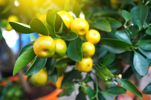柑橘類のカラマンシーの枝のクローズアップ。エキゾチックな観葉植物の背景。