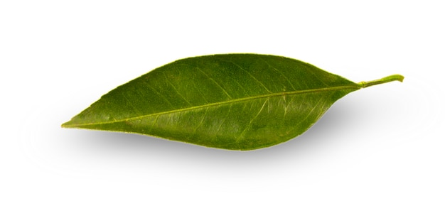 Citrus leaf with drops isolated