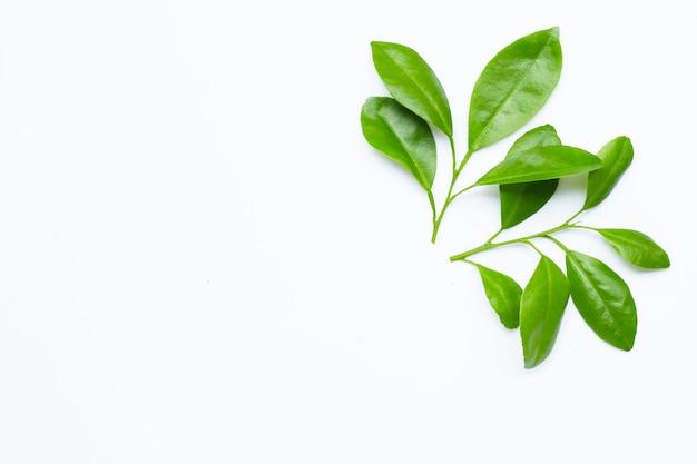 Цитрусовые листья на белом пространстве. вид сверху