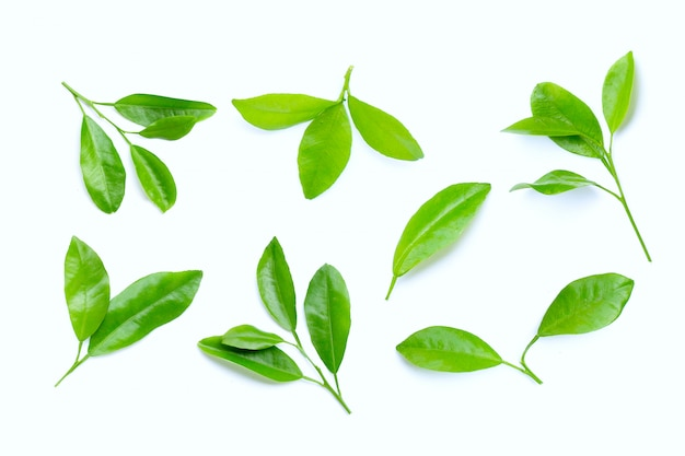 Citrus leaves on white background.