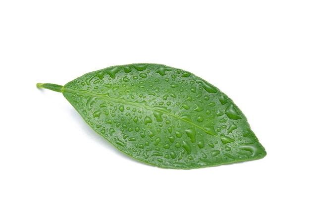 Citrus leaves with drops isolated on white