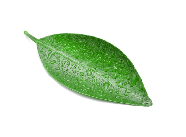 Citrus leaves with drops isolated