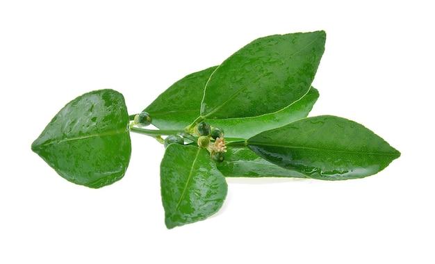 Листья цитрусовых с мокрыми, изолированные на белом фоне