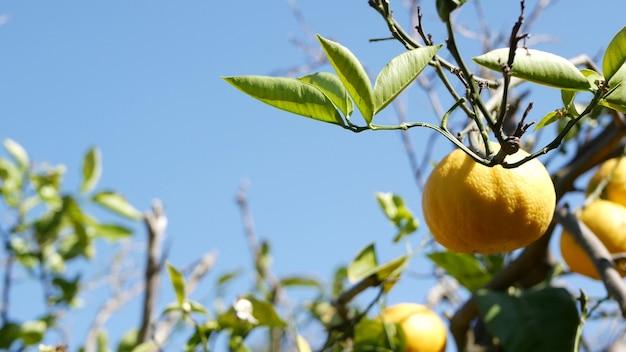 柑橘系のオレンジ色の果実、裸の葉のない木、米国カリフォルニア州。春の庭、アメリカの地元の農業農場のプランテーション、ホームステッド園芸。枝にジューシーで新鮮なエキゾチックな熱帯の収穫。青空。