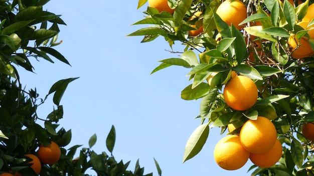 木の上の柑橘類のオレンジ色の果実、カリフォルニア州米国。春の庭、アメリカの地元の農業農場のプランテーション、ホームステッド園芸。ジューシーな新鮮な葉、枝にエキゾチックな熱帯の収穫。春の空。