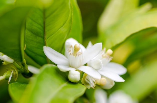 Citrus tree flower, azahar blossom