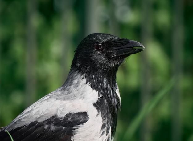 Городская ворона на лужайке в парке в зеленой траве