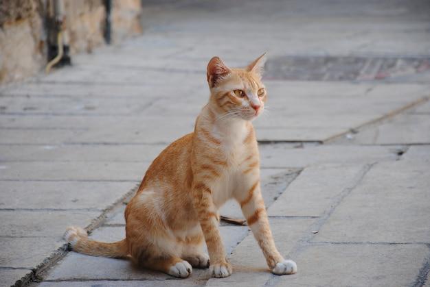市の動物。歩道の上に座って赤い散歩猫。かわいい動物