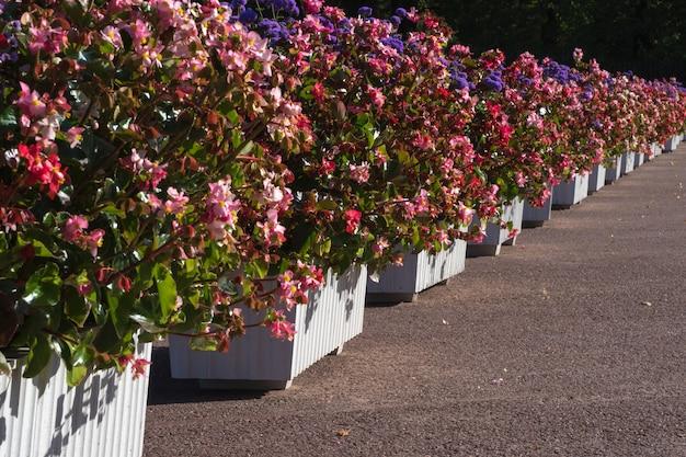 Городские клумбы с цветами в кадках