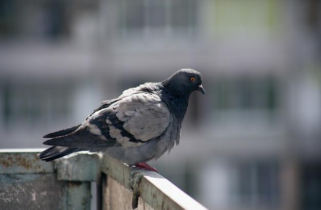 Городской голубь сидит на заборе на улице