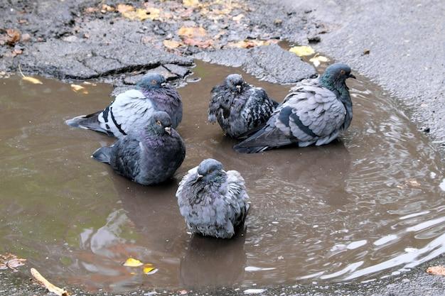 曇りの秋の雨の後、都市のハトはアスファルト道路の水たまりで泳ぐ