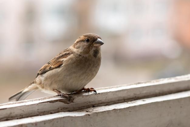 Городской воробей, самка, на балконе. для любых целей.