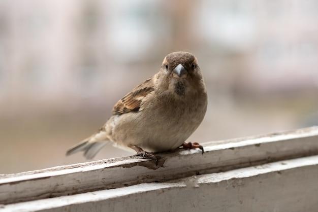 Городской воробей, самец на балконе. для любых целей.
