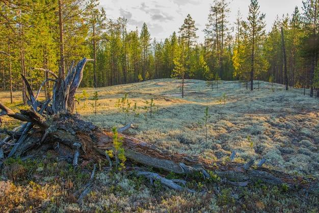 極地の森のクラドニアステラリス。ヤマル。