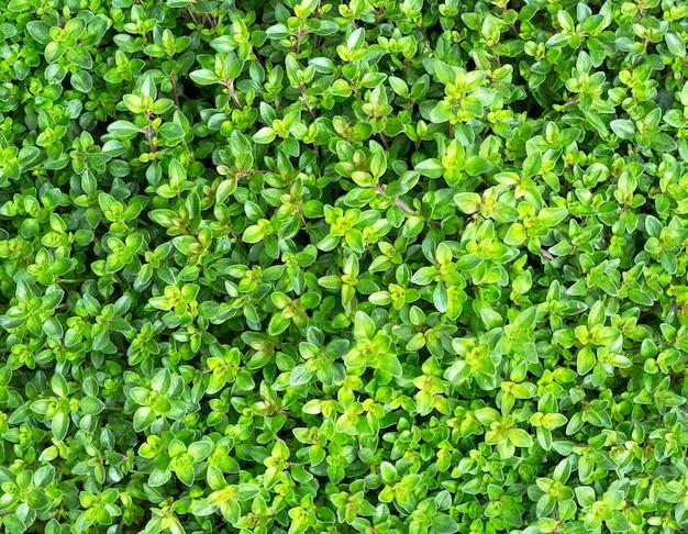 Clary sage (salvia sclarea). sage healthy garden herb.