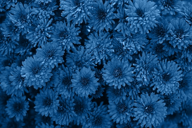 Classic blue color of the year 2020. blooming chrysanthemums in the autumn in the garden, top view. very beautiful blooming floral background
