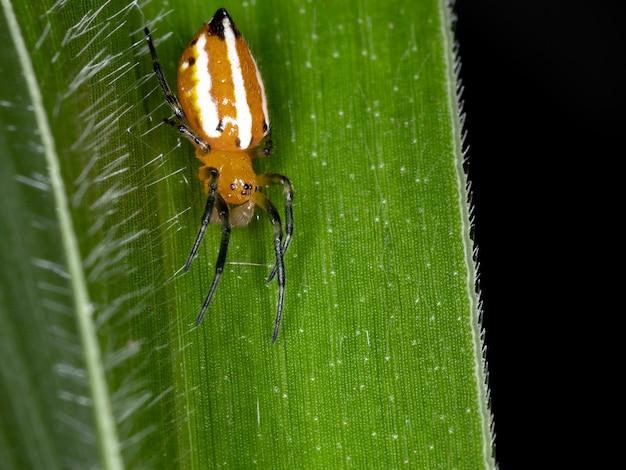 Классический кругопряд вида alpaida rubellula