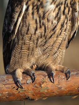 Claws of an owl close-up in nature