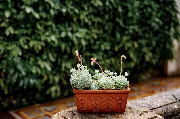 エケベリア多肉植物が咲く粘土茶色の植木鉢。