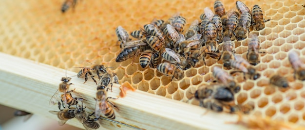 Cleaning bee put their heads in honey cells. development of colony of bees.