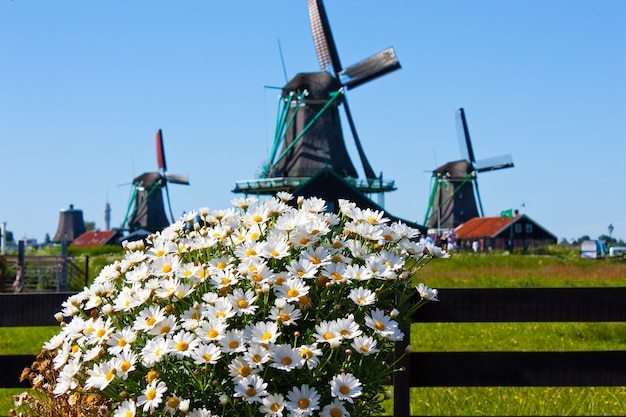 Ясная и традиционная достопримечательность голландии: цветы и мельницы