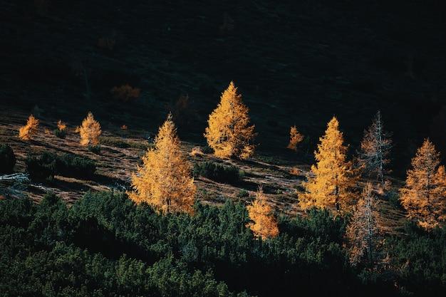 秋のカラマツと松の木の間の澄んだ暗い太陽