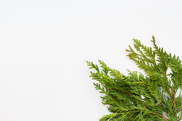 Clear white background with thuja branches. place for text. flat lay, top view.