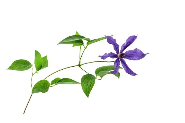녹색 잎과 푸른 꽃이 있는 클레마티스 지점은 흰색 배경에 분리되어 있습니다.