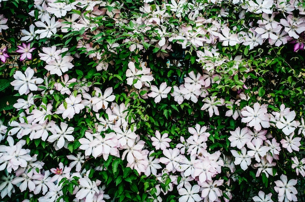 Clematis flowers are gently pink and purple and green leaves.