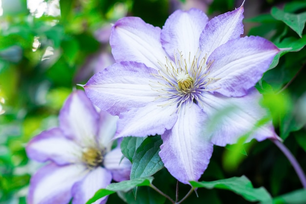 Clematis flowers in green foliage