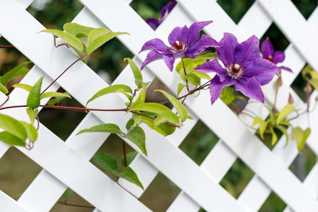 Clematis flowers on a white plastic fence in a country garden.