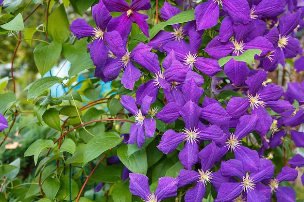 クレマチス、ジャックマニーは、紫色の花を持つ美しいつる植物です。夏の間ずっと咲いています。