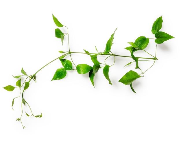 クレマチスは巻きひげで去ります。含まれている白い背景のクリッピングパスに分離された緑の小枝。花柄。上面図、フラットレイ