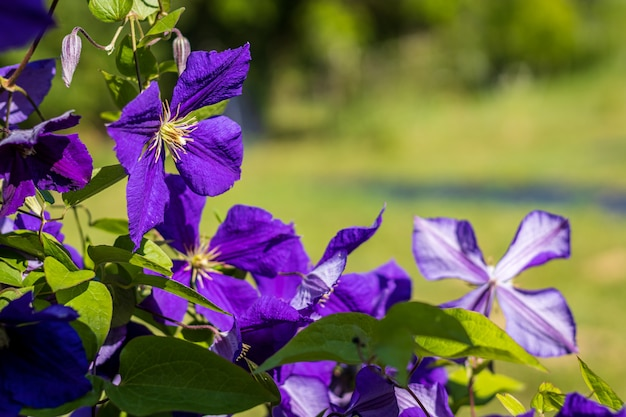 Clematis x jackmanii in the garden