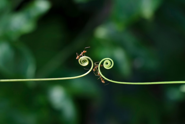 Climber plant and ants