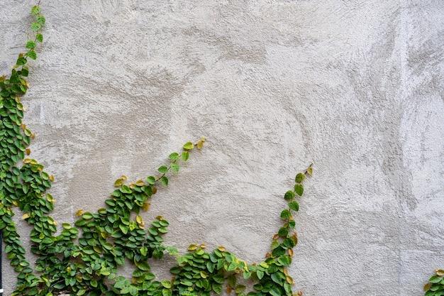 Вьющееся растение против гипсовой стены.