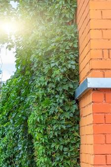 Вьющееся растение, зеленый плющ или виноградная лоза, растущие на старинной кирпичной стене дома. текстурированный фон старый кирпич с лианой вирджиния или девственным виноградом (parthenocissus quinquefolia).