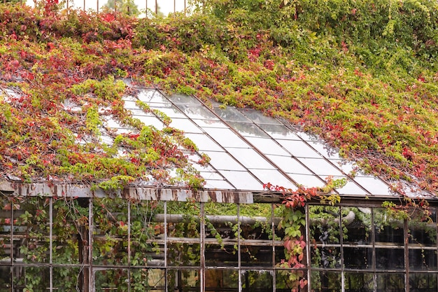 Climbing plants on the building