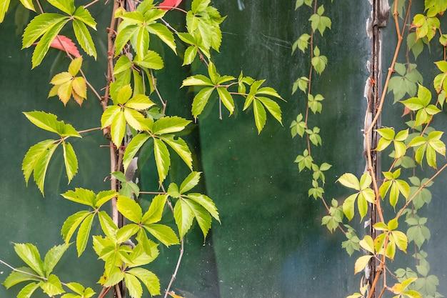 建物のつる植物