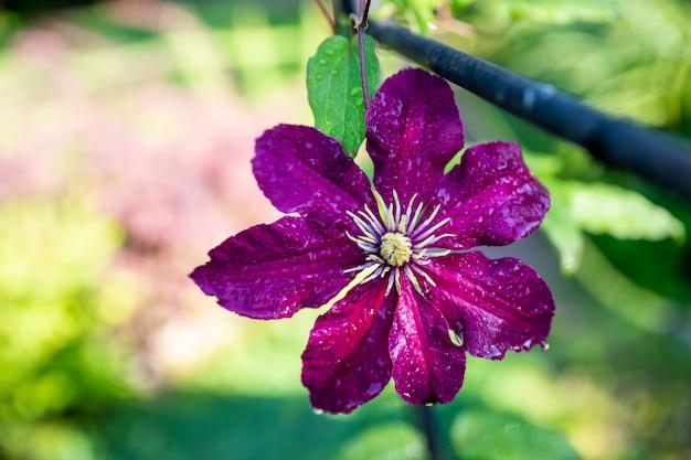 庭で育つ紫色のクリマチスを登る。夏の日の日光の背景をぼかした写真のクリマチスの花。